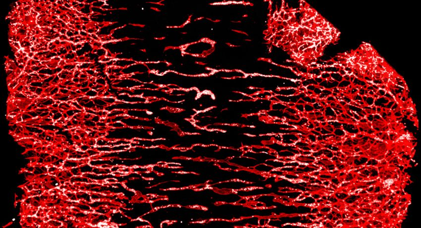 Blood vessels and blood cells